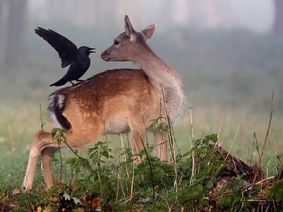 Deer & the Jackdaw_400w